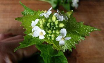Garlic Mustard flowers